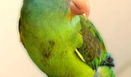 Parakeet [Public Domain]