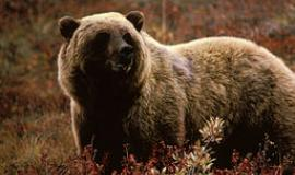 Grizzly Bear By Bobisbob at en.wikipedia (Original text: Nickles, Jon) [Public domain], from Wikimedia Commons