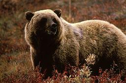 Grizzly via https://commons.wikimedia.org/wiki/File:Grizzlybear55.jpg?uselang=en-gb